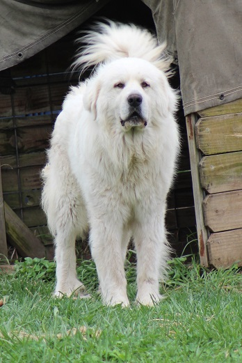 Little Dixie Farm - Great Pyrenees Puppies for salein Missouri